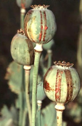 Poppy Pod containing Opium