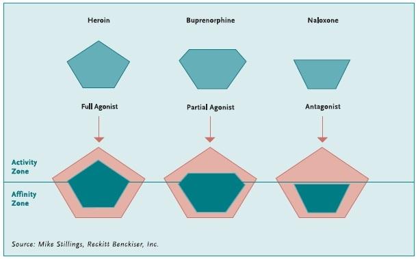 liaison au récepteur de la buorénorphine